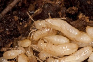 What happens when Termites Swarm