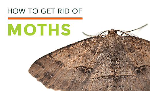 Getting Rid of Moths in Carpets