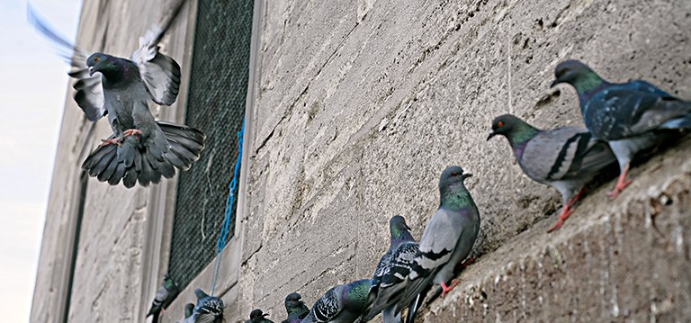 pigeons-bird-control