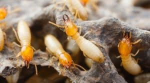 identifying termite damage