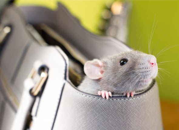 Why rats make better pests than pets