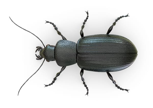 Five Gross Beetle Facts: Learning About Our Enemies