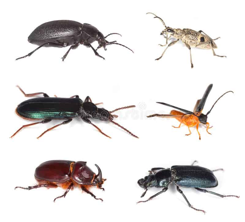 different-types-of-beetles