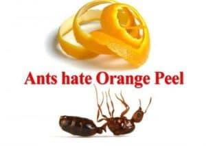 ants-hate-orange-peel