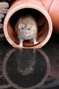 avoiding-rodents-in-your-home