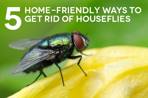 getting-rid-of-Houseflies