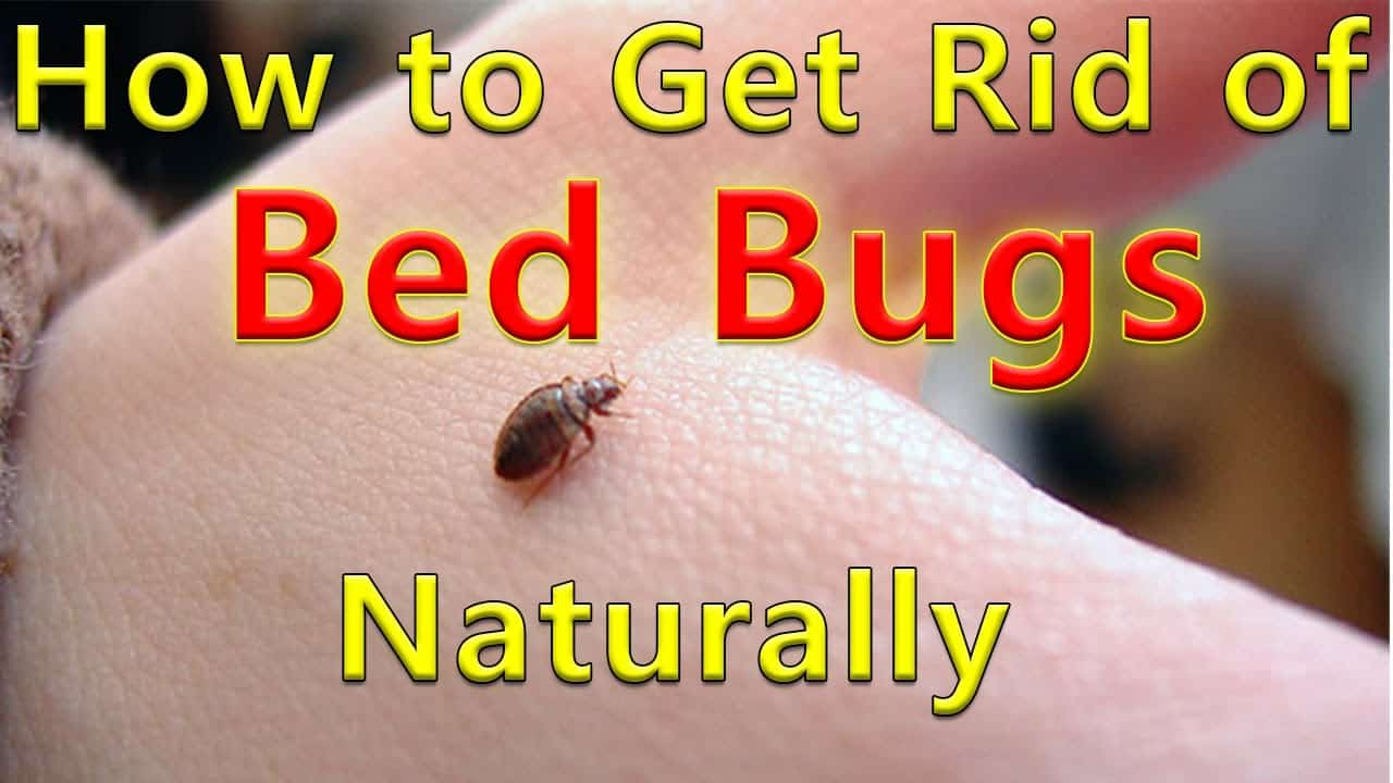 Does Alcohol Kill Bed Bugs Effectively ?